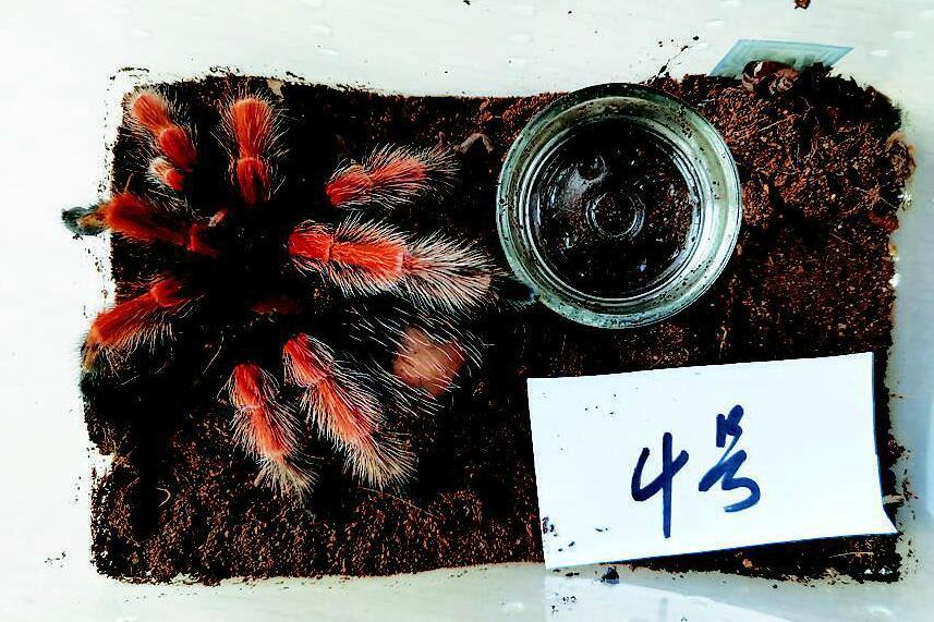 非法收售捕鸟蛛等濒危野生动物  获刑七个月